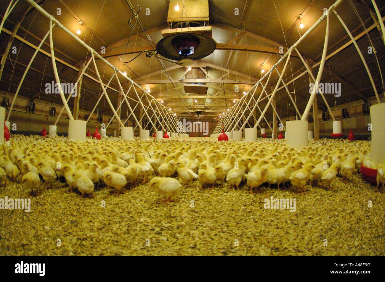 Vier Tage alten Küken Bio Geflügel Farm UK Europe Stockfotografie - Alamy