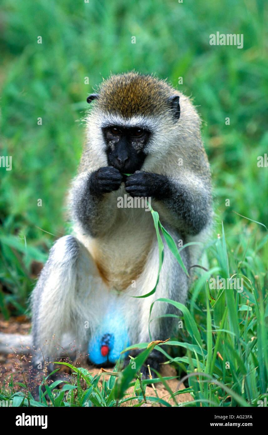Männliche Vervet Affen mit blauer Hodensack und roten